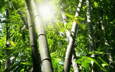 על צמיחתו של עץ הבמבוק הסיני